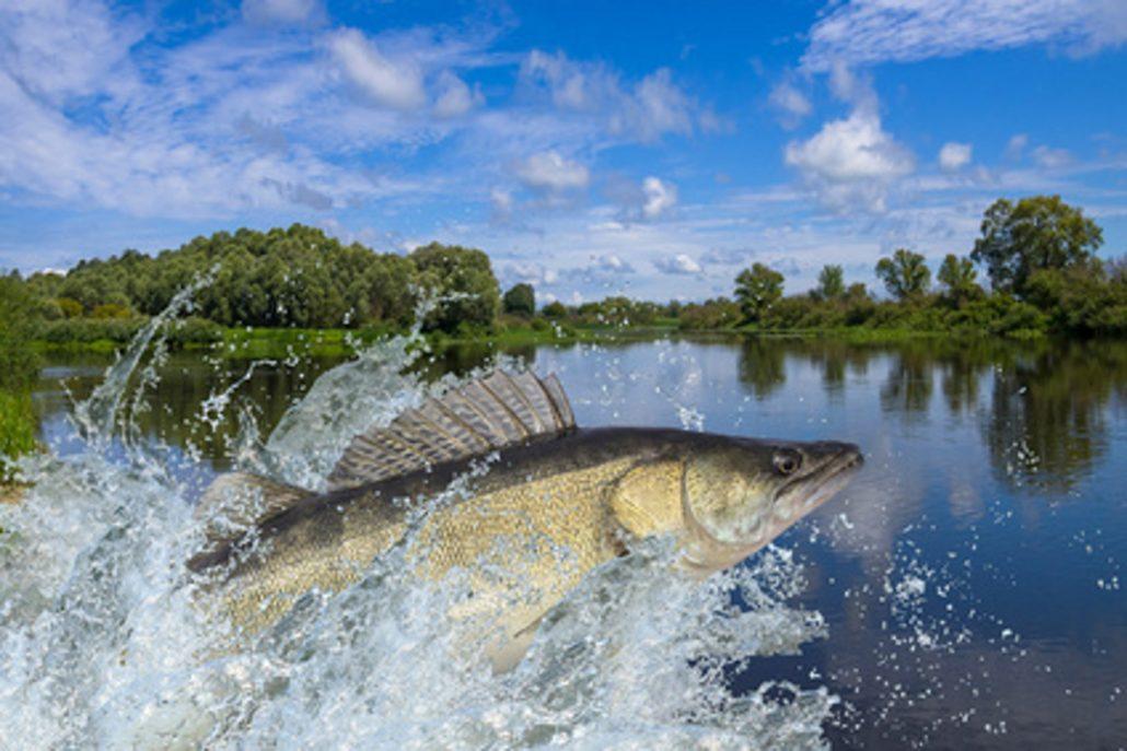 Springender Zander von Big Fish Sweden